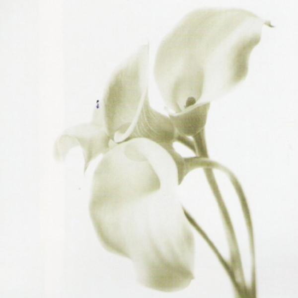 Gravura Para Quadro Floral Flor Copo De Leite 50x50cm