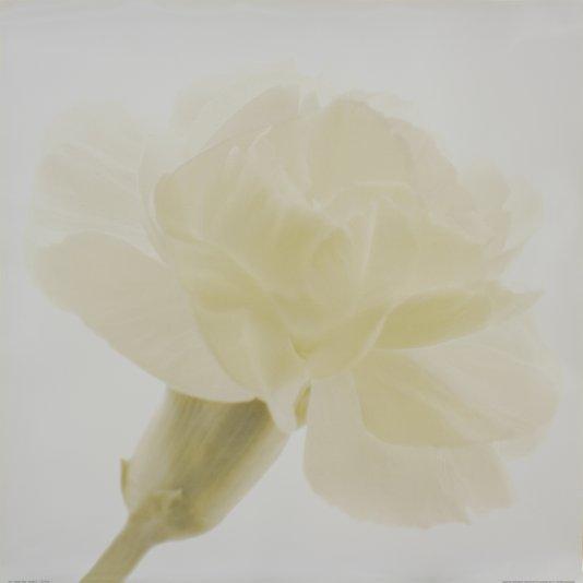 Gravura para Quadros Flor Craveiro Branco 70x70cm