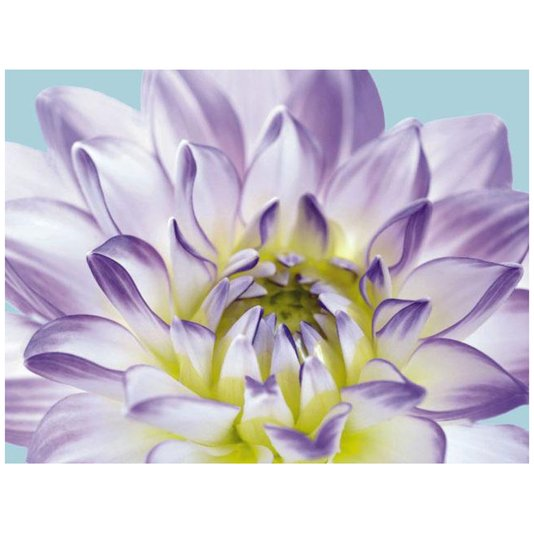 Gravura para Quadros Flor Crisântemo Lilás 25x20cm