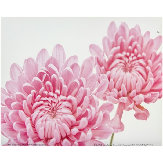 Gravura para Quadros Flor Crisântemo Rosa 25x20cm