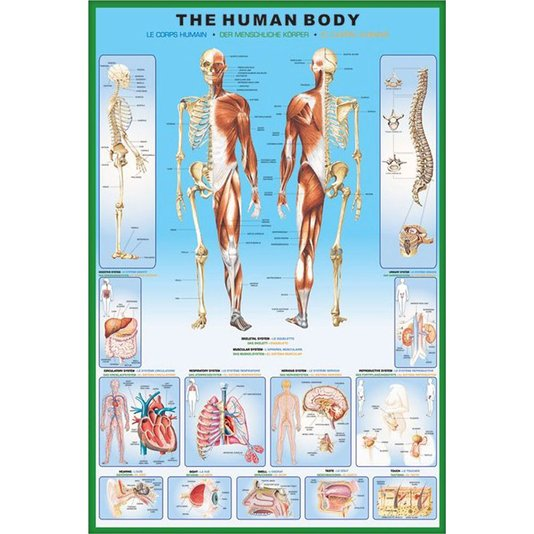 Poster Anatomia do Corpo Humano 60x90cm com/sem Moldura