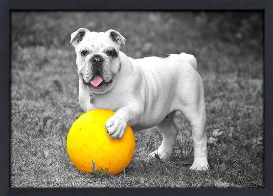 Quadro Imagem com Moldura e Vidro Pet Cachorro Bulldog 30x20 cm