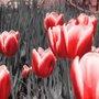 Gravura para Quadros Floral Tulipas Vermelhas 30x30cm