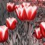 Gravura para Quadros Floral Tulipas Vermelhas II - 30x30cm